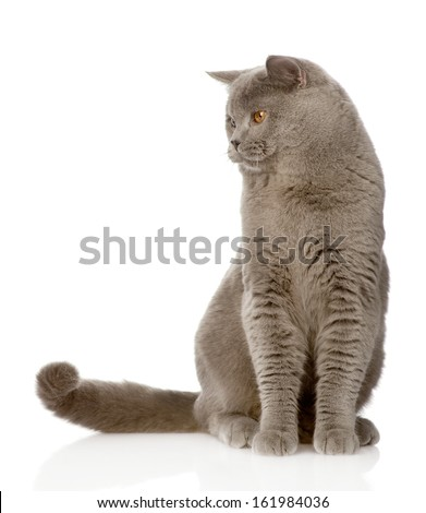 British shorthair cat sitting in front and looking away. isolated on white background