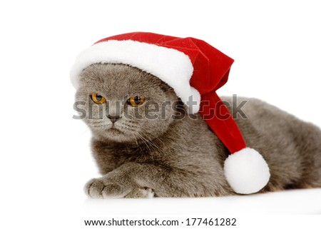 British shorthair cat with santa hat. isolated on white background