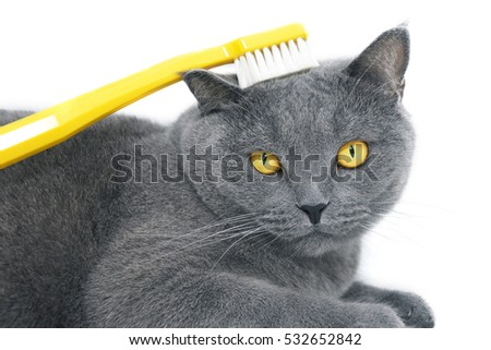 British shorthair cat with yellow toothbrush, isolated on white background.