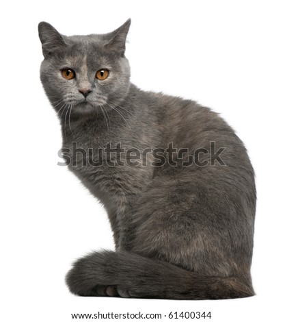 British Shorthair cat, 1 year old, sitting in front of white background - stock photo