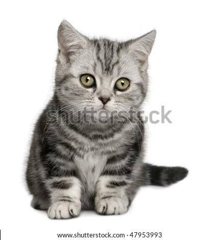 British Shorthair kitten (10 months old) in front of a white background