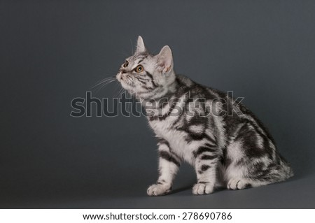 British Shorthair kitten on a gray background looking  left - text space to the left . - stock photo