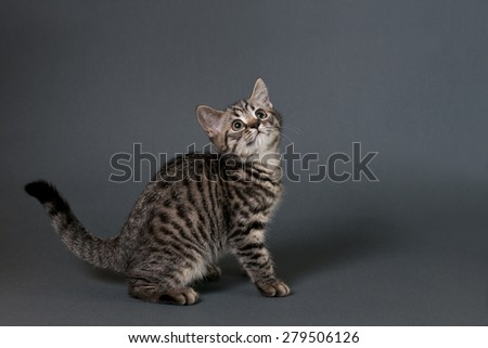 British Shorthair kitten on a gray background looking  right - text space to the right . - stock photo