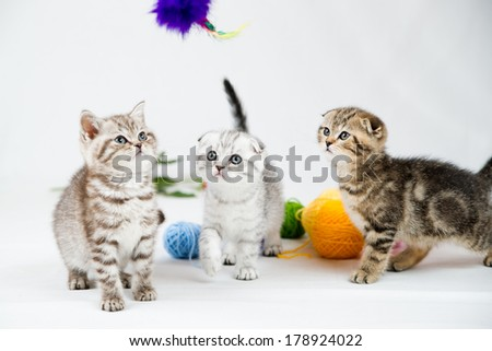 British Shorthair kittens on white background. Pets in the studio. - stock photo