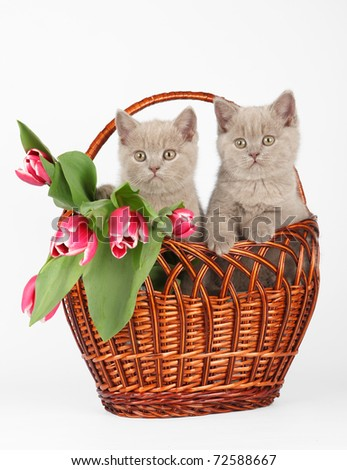 British shorthair kittens with tulips in basket - stock photo