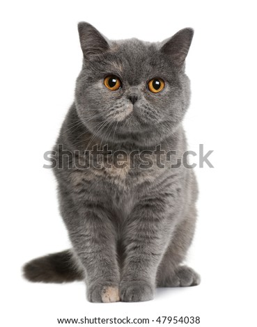 british shorthair (15 months old) in front of a white background