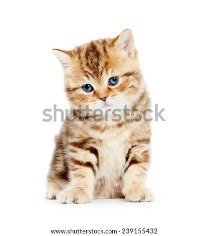 british shorthair red kitten cat - stock photo