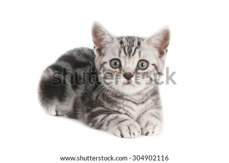 British Shorthair silver tabby kitten on white