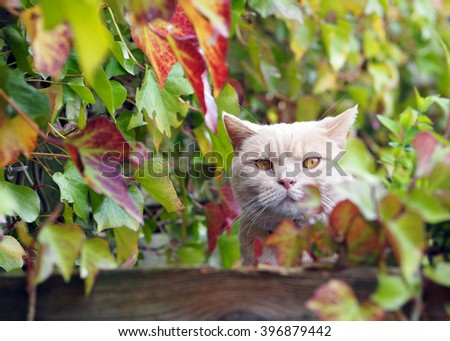 British shorthair surrounded by ivy