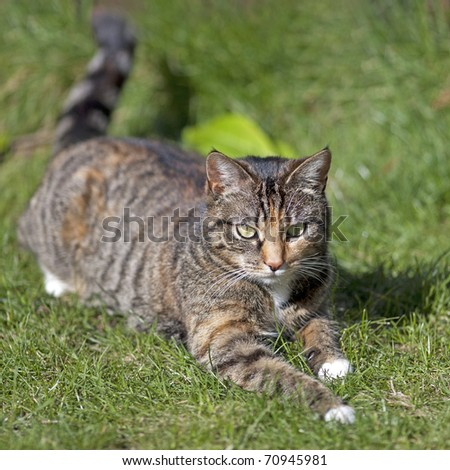 British Shorthair Tabby Cat - stock photo