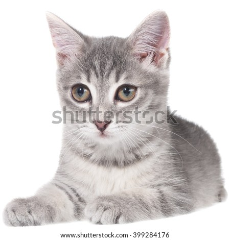 British shorthair tabby kitten lay isolated on a white background.
