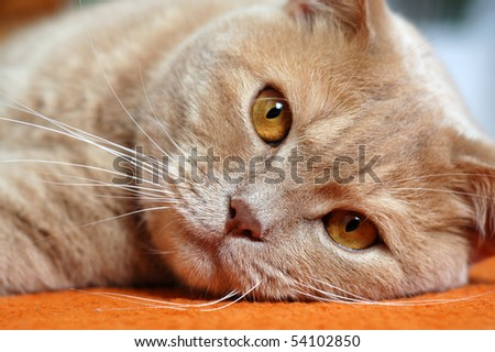 British shorthair tomcat - stock photo