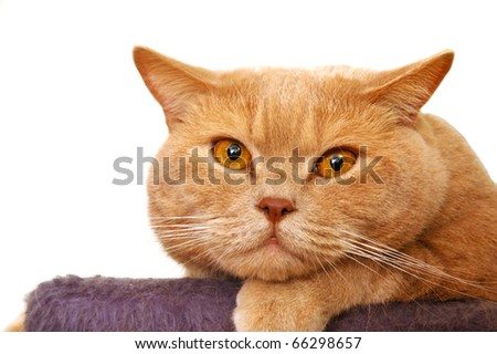 British shorthair tomcat - stock photo
