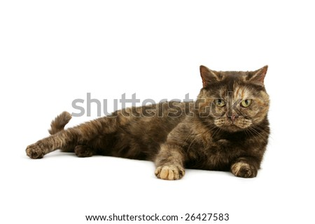 British Shorthair tortie - stock photo