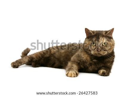 British Shorthair tortie - stock photo