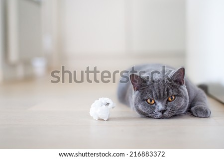British shorthair. Want to play? British shorthair kitten laying on the floor next to toy. cat staring with yellow eyes. Grey cat at home. light background. - stock photo