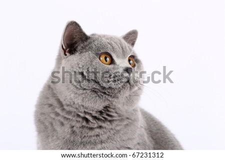 British shorthaired cat on white background - stock photo