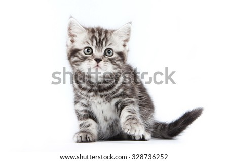 British striped gray kitten (isolated on white)