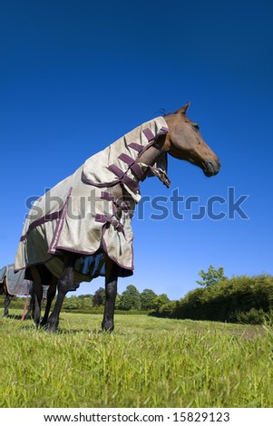 British Warm Blood gelding in protective fly sheet