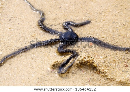 Brittle Star in the Shallow Water - stock photo