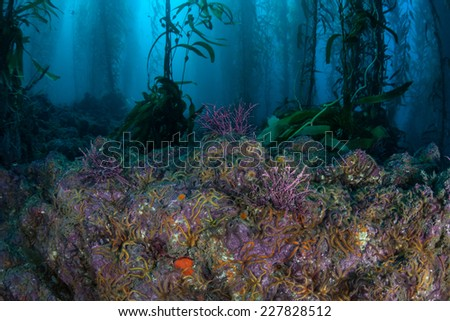 Brittle stars cover the rocky bottom of a kelp forest near the Channel Islands in California. Kelp provides an important habitat for many fish and invertebrates. - stock photo