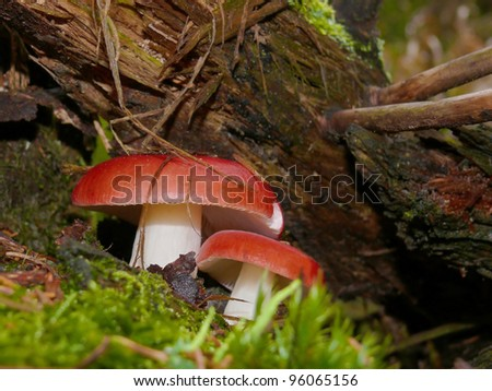 Brittlegill, Russula spec. - stock photo