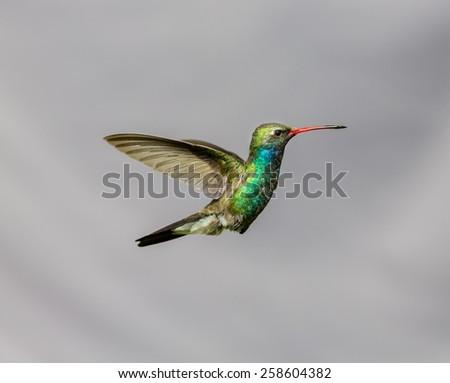 Broad Billed Hummingbird. - stock photo