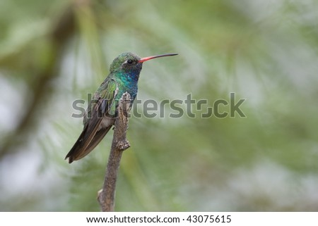 Broad-billed Hummingbird (Cynanthus latirostris magicus), male.