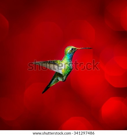 Broad Billed Hummingbird flying against a red festive background giving of a festive atmosphere. This makes a very unusual Christmas card to any hummingbird or wild life enthusiast. Special card. - stock photo