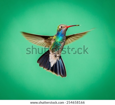 Broad Billed Hummingbird hovering ready to guard its area from intruders. This was taken in central Mexico where they are to be found. This makes an ideal subject for a painting or calendar, - stock photo