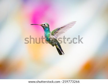 Broad billed Hummingbird. Hummingbird art and crafts. This is a new line of photos experimenting with different flowered backgrounds that give the shot that extra color.  - stock photo
