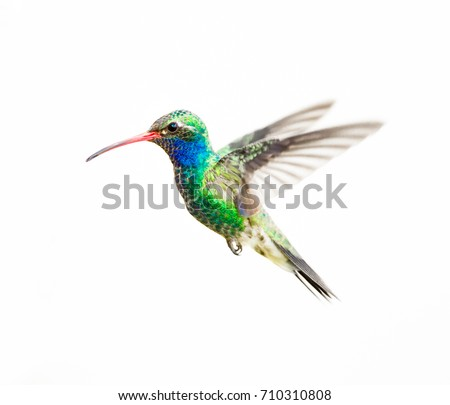 Broad Billed Hummingbird Male Isolated On Foto de stock (libre de ...