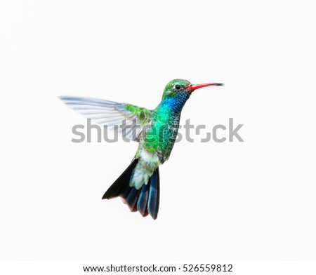 Broad Billed Hummingbird Using Different Backgrounds Foto de stock ...