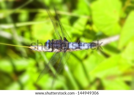 Broad-bodied chaser - maco - stock photo