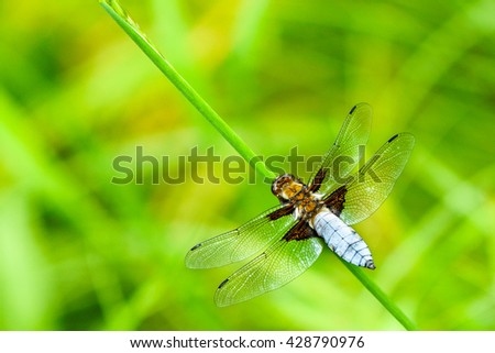Broad-bodied chaser Male - Libellula depressathe, or Broad-bodied darter, is one of the most common dragonflies in Europe and central Asia.