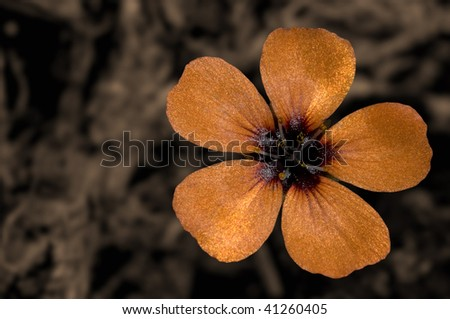 Broad-Stigma Sundew - stock photo