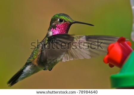 Broad-tailed hummingbird at feeder - stock photo
