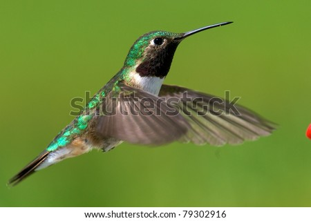 Broad-tailed hummingbird  male - stock photo
