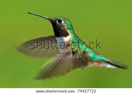 Broad-tailed hummingbird male in flight.