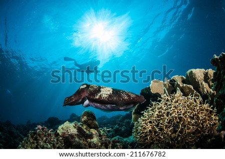 Broadclub cuttlefish Sepia latimanus in Gorontalo, Indonesia underwater photo. The cuttlefish is swimming above the coral reefs. - stock photo