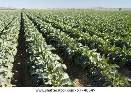 Broccoli plants grow in a field near Yuma Arizona.