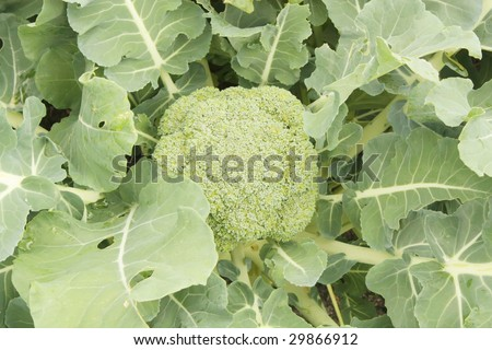 Broccoli Raw in the Farm Green Leaves - stock photo
