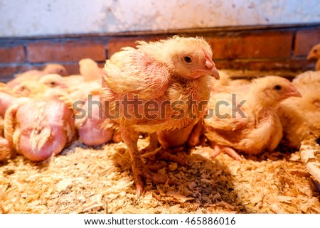 Broiler chickens in the barn