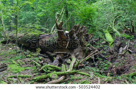 Broken oak tree trunk lying rain after among deciduous trees, Bialowieza Forest, Poland, Europe