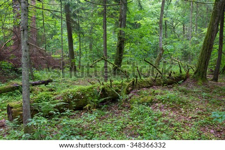 Broken spruce tree almost decomposed in natural european forest,Bialowieza Forest,Poland,Europe - stock photo
