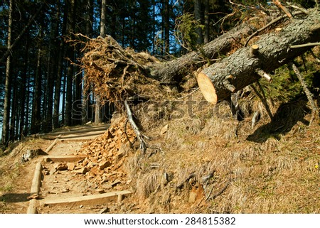 Broken tree destruction wind disaster in forest - stock photo