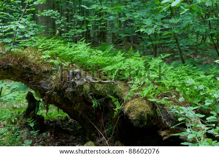 Broken tree stump moss covered and ferns layer above them in springtime - stock photo