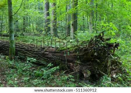 Broken tree trunk lying storm after among deciduous trees, Bialowieza Forest, Poland, Europe
