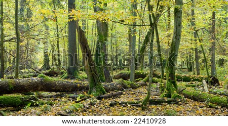 Broken trees almost decomposed in natural european forest , autumnal scenic