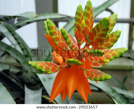 Bromelia with a deeply red inflorescence and first fresh floret - stock photo